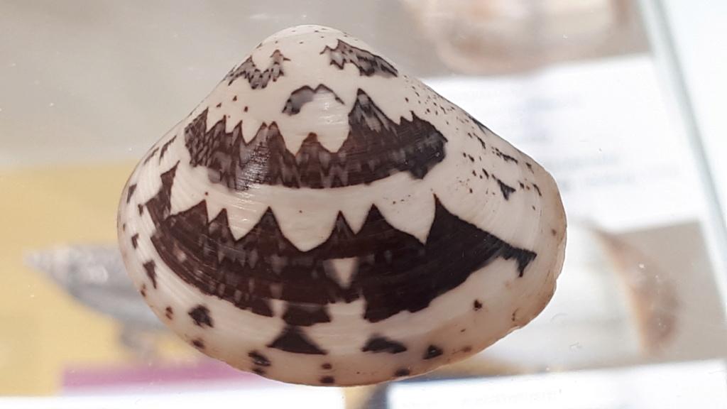 Lioconcha fastigiata - (G. B. Sowerby II, 1851)  20200743