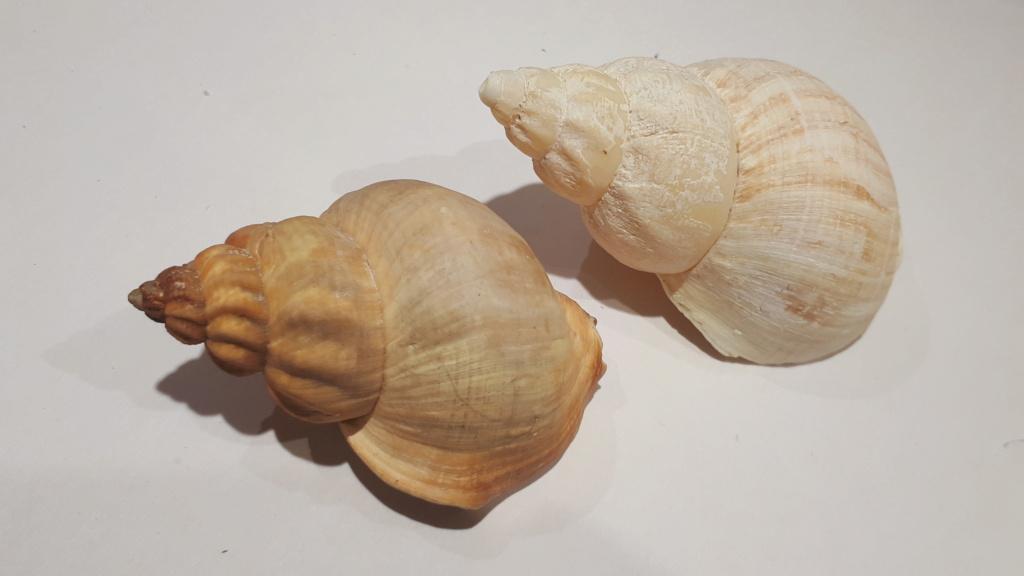 Buccinum middendorfii - Verkrüzen, 1882 20210172