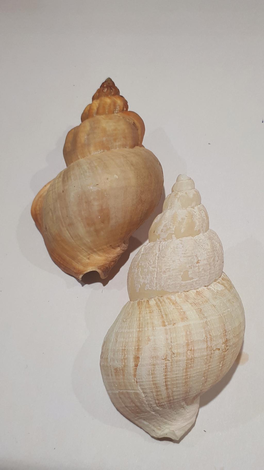 Buccinum middendorfii - Verkrüzen, 1882 20210173