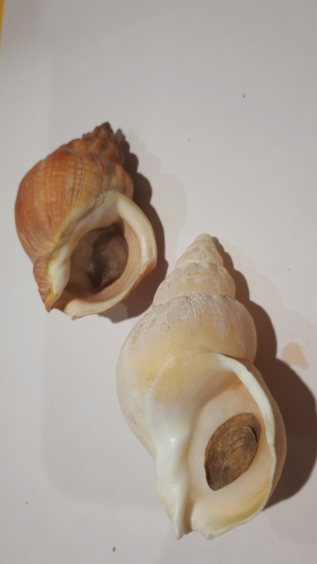 Buccinum middendorfii - Verkrüzen, 1882 20210174