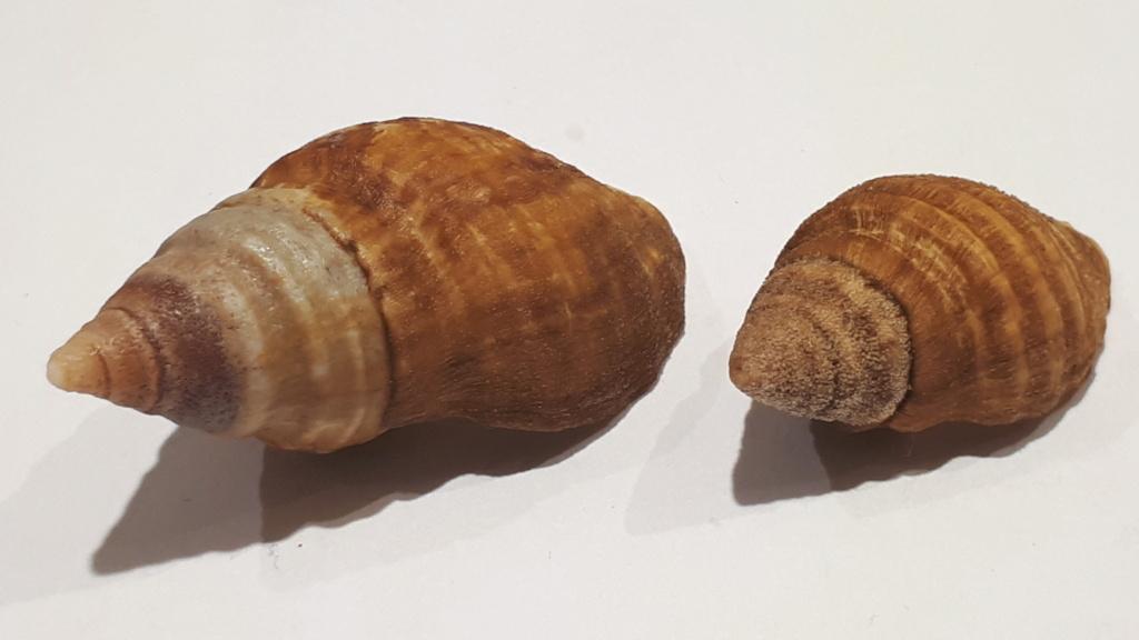 Burnupena pubescens - (Küster, 1858) 20210201