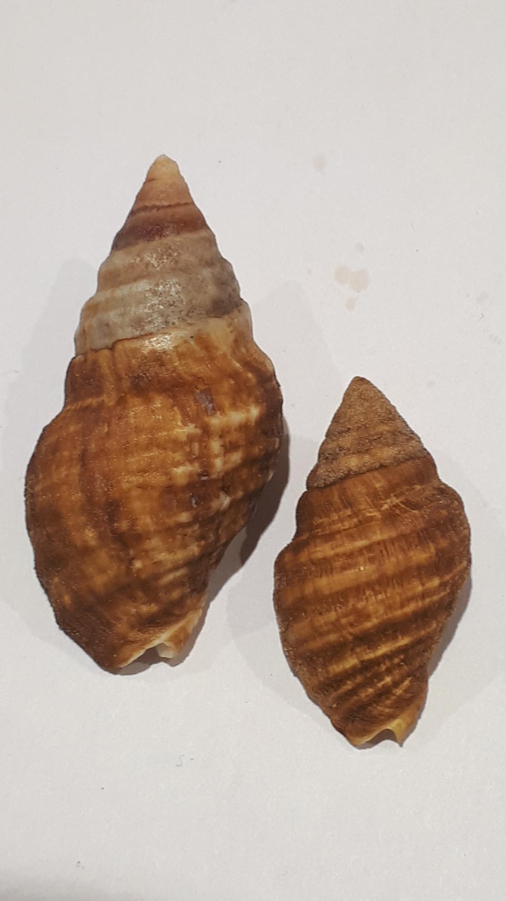 Burnupena pubescens - (Küster, 1858) 20210202