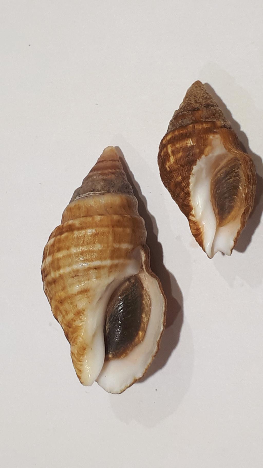 Burnupena pubescens - (Küster, 1858) 20210203
