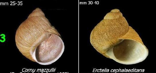 Erctella cephalaeditana  (Giannuzzi-Savelli, Sparacio et Oliva, 1986)  Kalamaki (Messinias) Grèce Coquil10