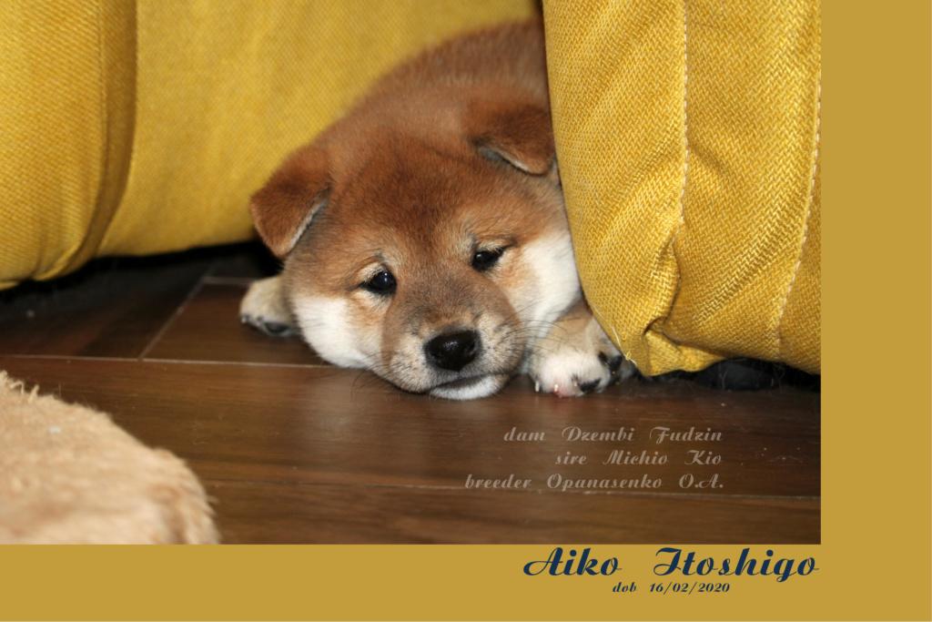 Щенки от пары Michio Kio и Dzembi Fudzin от 16.02.2020 01_aik11