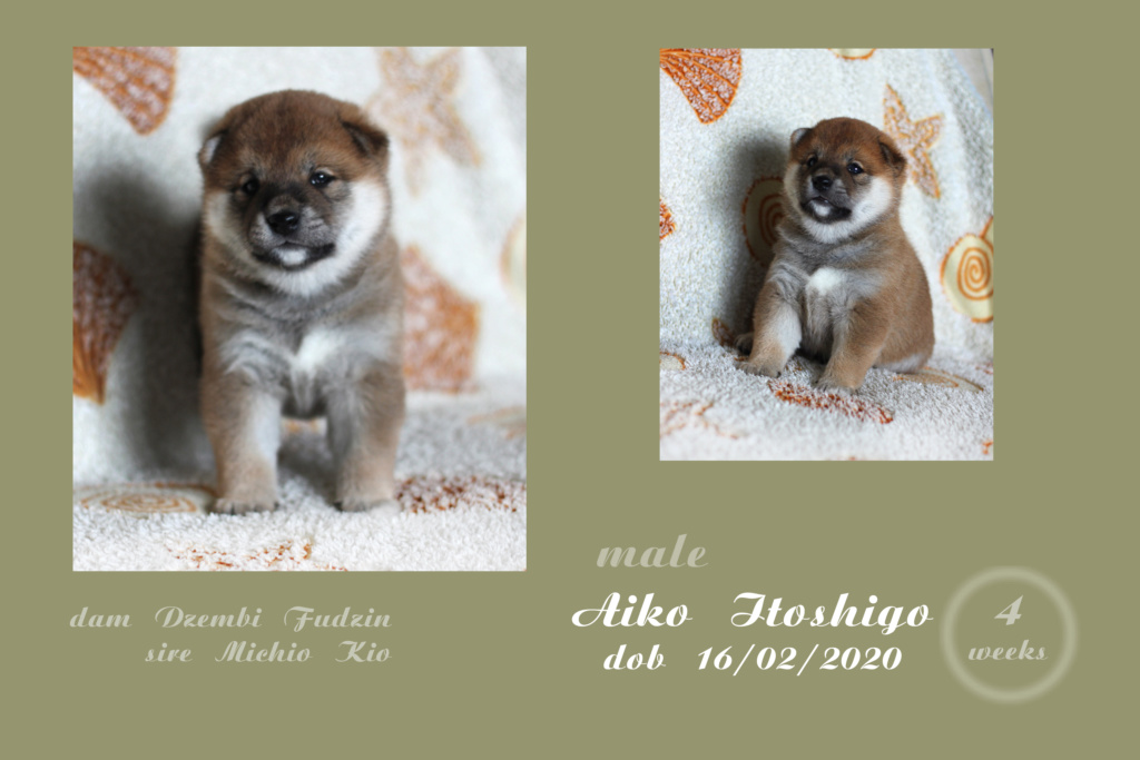 Щенки от пары Michio Kio и Dzembi Fudzin от 16.02.2020 Aiko_i10