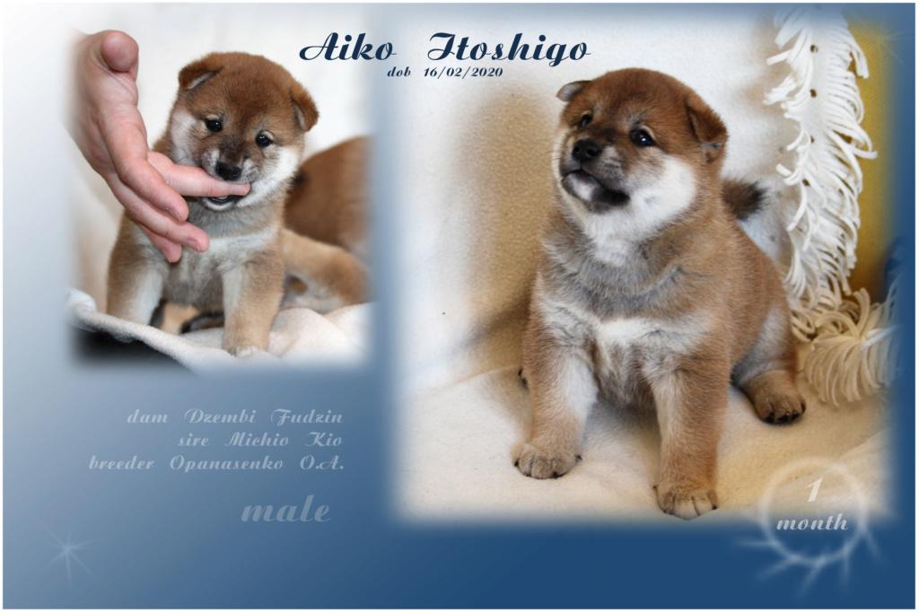 Щенки от пары Michio Kio и Dzembi Fudzin от 16.02.2020 Aiko_i11