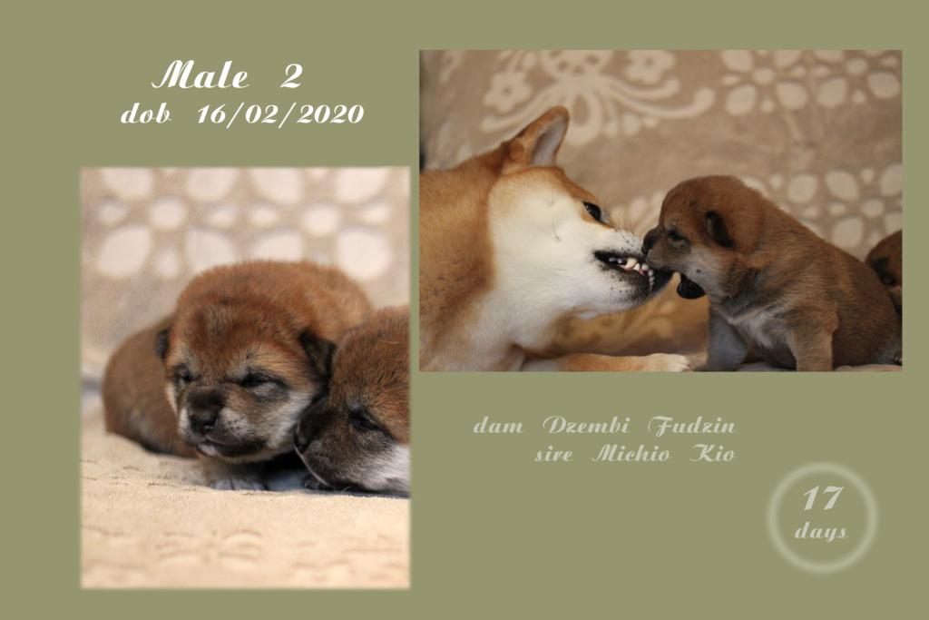 Щенки от пары Michio Kio и Dzembi Fudzin от 16.02.2020 Boy210
