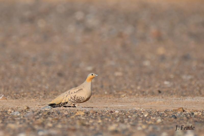 Marrocos 2019 - Ganga-malhada (Pterocles senegallus) Dsc_0110