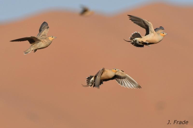 Marrocos 2019 - Ganga-malhada (Pterocles senegallus) Dsc_0111