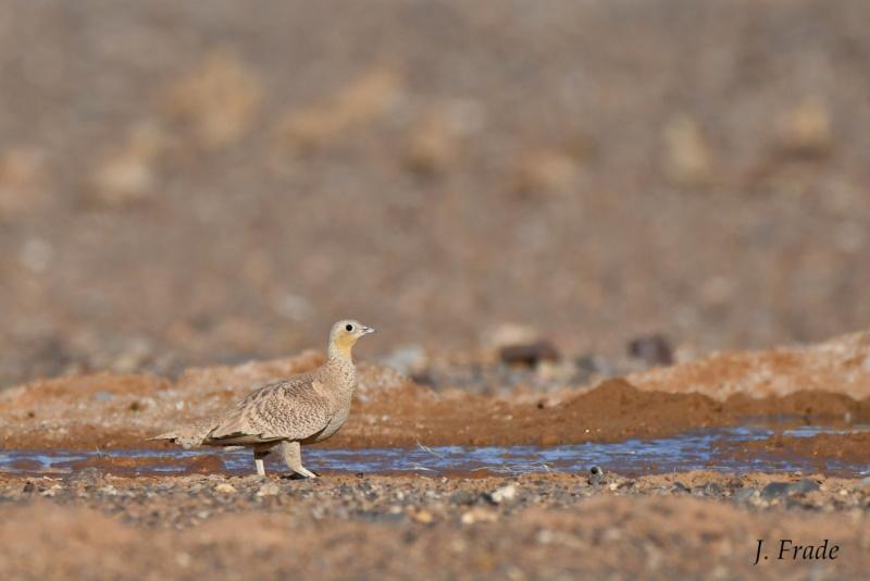 Marrocos 2019 - Cortiçol-coroado (Pterocles coronatus) Dsc_0210