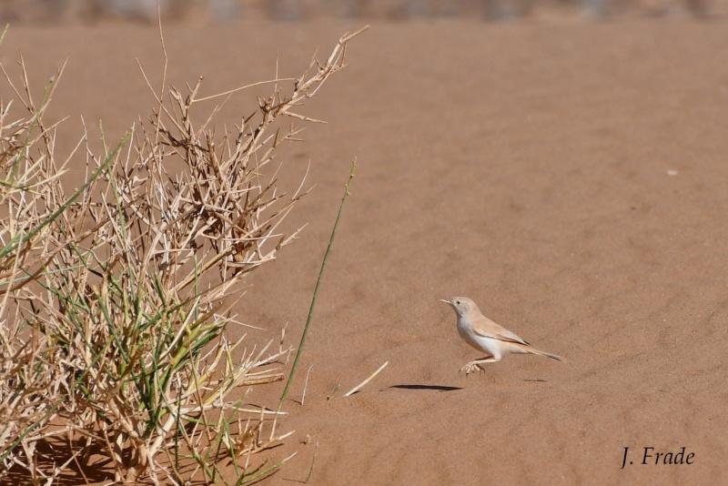 Marrocos 2019 - Toutinegra-do-deserto-africana (Sylvia deserti) Dsc_0410
