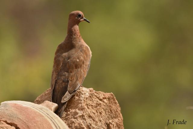 Marrocos 2019 - Rola-dos-palmares (Streptopelia senegalensis) Dsc_1810