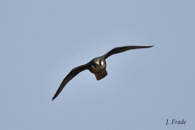 Marrocos 2019 - Falcão-da-rainha (Falco eleonorae) Dsc_2316