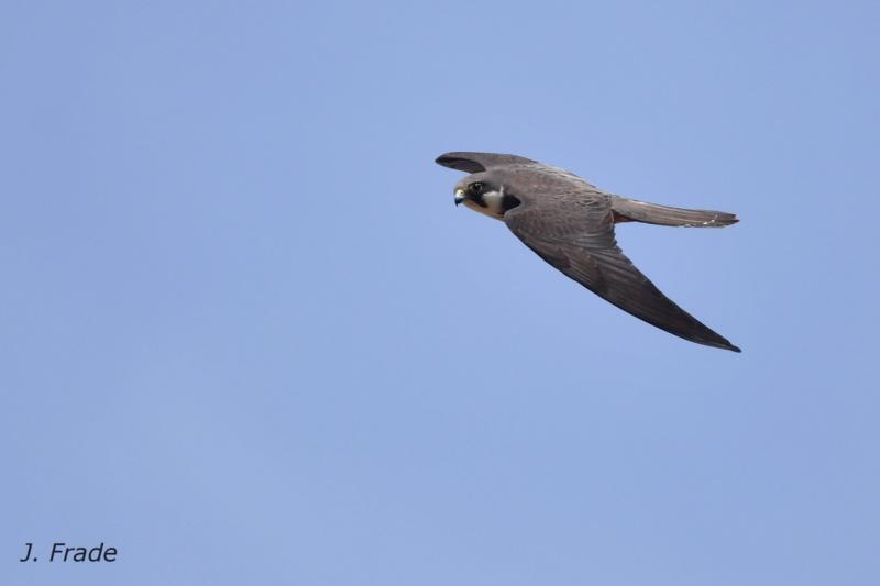Marrocos 2019 - Falcão-da-rainha (Falco eleonorae) Dsc_2317
