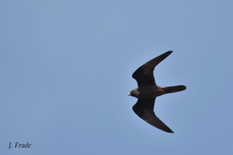 Marrocos 2019 - Falcão-da-rainha (Falco eleonorae) Dsc_2318