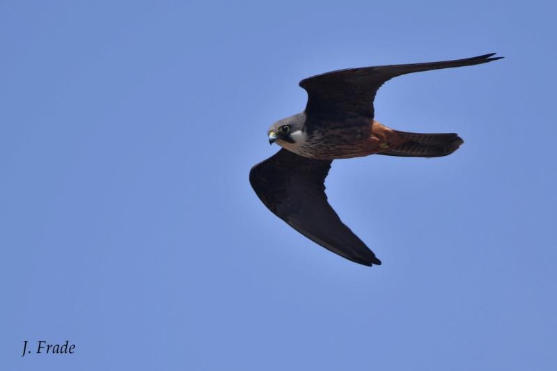 Marrocos 2019 - Falcão-da-rainha (Falco eleonorae) Dsc_2319