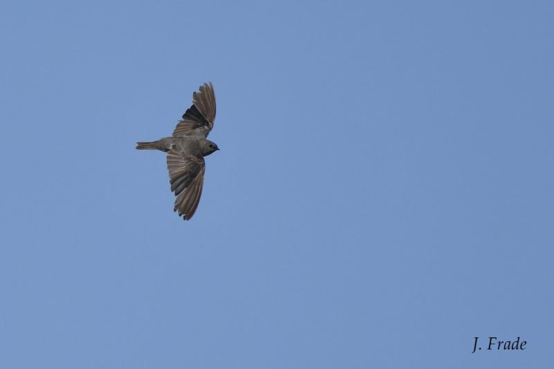 Marrocos 2019 - Andorinha-dos-charcos (Riparia paludicola) Dsc_2612