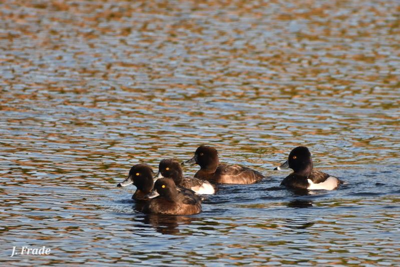 Fórum Aves - Birdwatching em Portugal - Portal Dsc_5820