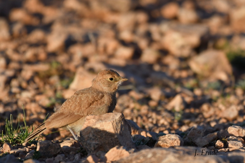 Marrocos 2019 - Calhandra-cornuda-do-deserto (Eremophila bilopha) Dsc_7614