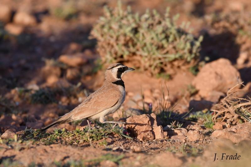 Marrocos 2019 - Calhandra-cornuda-do-deserto (Eremophila bilopha) Dsc_7615