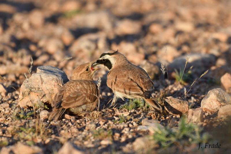 Marrocos 2019 - Calhandra-cornuda-do-deserto (Eremophila bilopha) Dsc_7616
