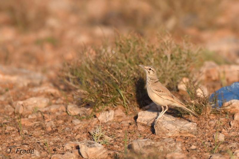 Marrocos 2019 - Calhandra-de-bico-curvo (Alaemon alaudipes) Dsc_7712