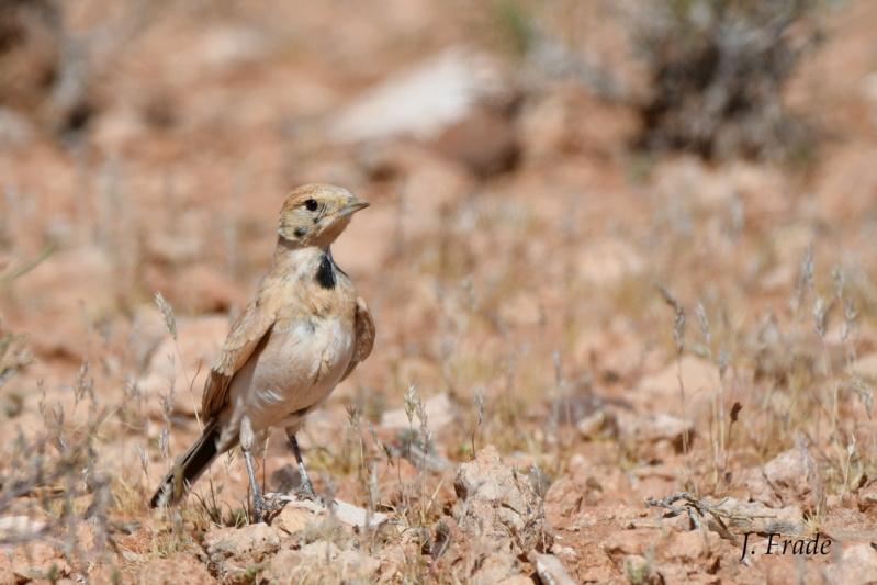 Marrocos 2019 - Calhandra-cornuda-do-deserto (Eremophila bilopha) Dsc_8012