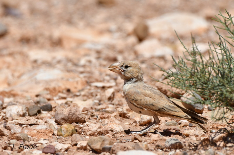 Marrocos 2019 - Calhandra-de-bico-grosso (Ramphocoris clotbey) Dsc_8412