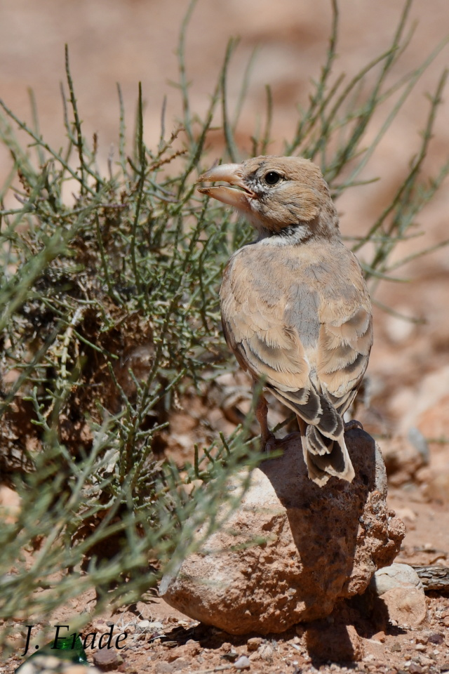 Marrocos 2019 - Calhandra-de-bico-grosso (Ramphocoris clotbey) Dsc_8413