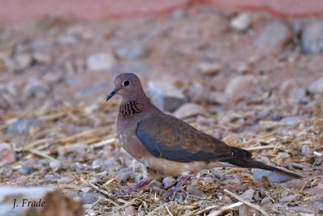 Marrocos 2019 - Rola-dos-palmares (Streptopelia senegalensis) Dsc_8612