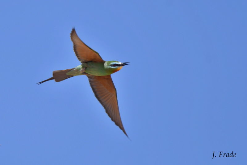 Marrocos 2019 - Abelharuco-persa (Merops persicus) Dsc_8813