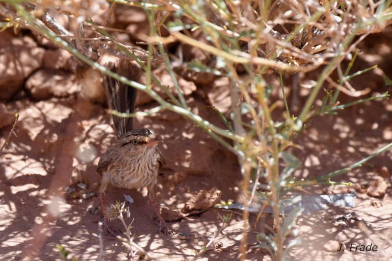 Marrocos 2019 - Fuinha-dos-espinheiros (Scotocerca inquieta) Dsc_8912