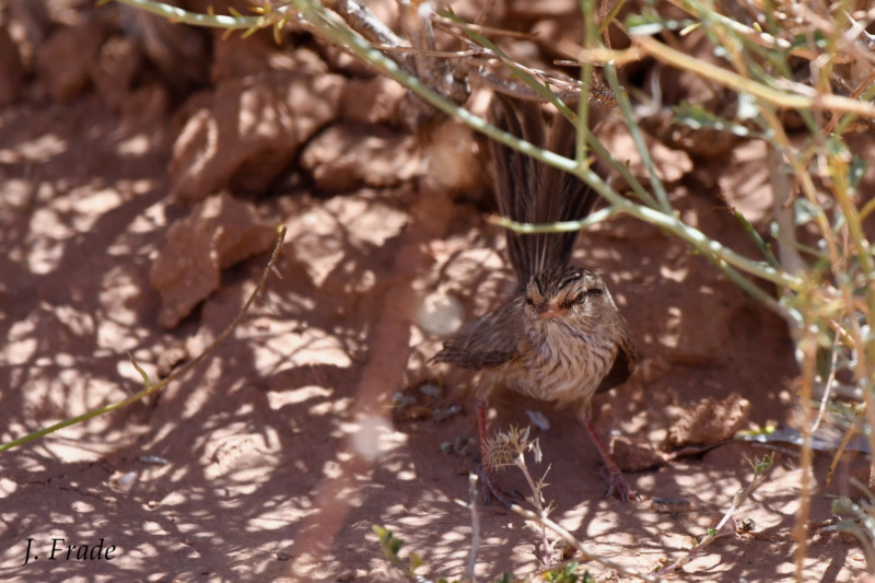 Marrocos 2019 - Fuinha-dos-espinheiros (Scotocerca inquieta) Dsc_8913