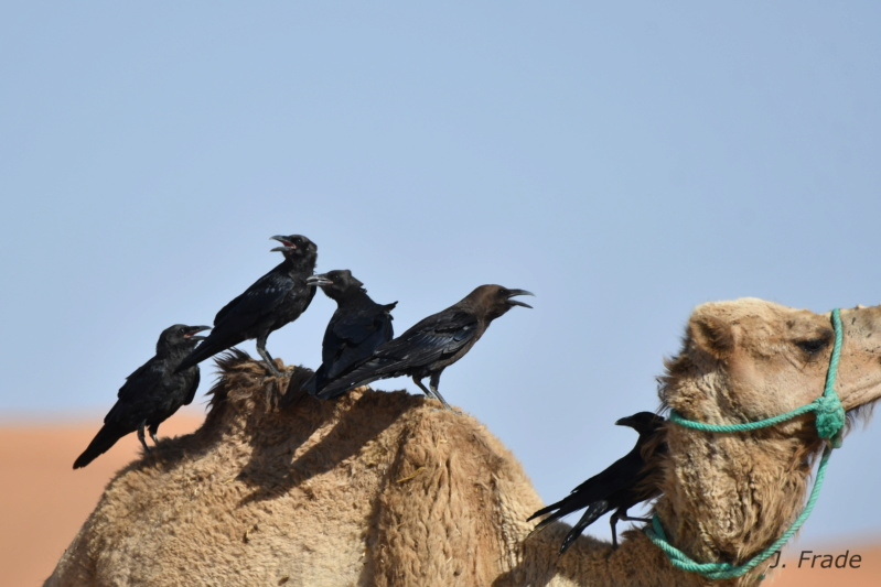 Marrocos 2019 - Corvo-do-deserto (Corvus ruficollis) Dsc_9614