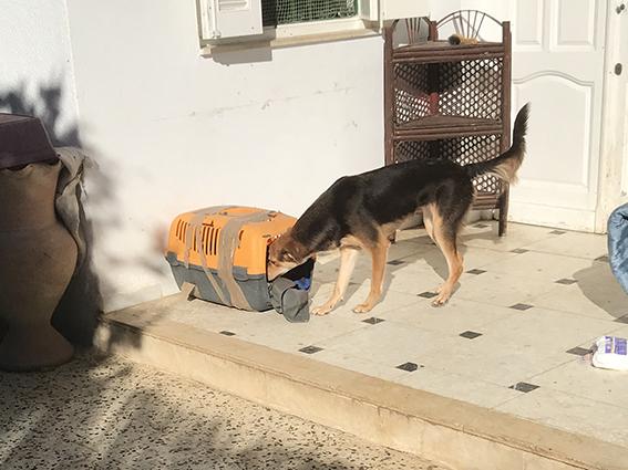 CHOCOLINE, identifiée 941.000.023.236.590, en refuge à Tunis Img_0314
