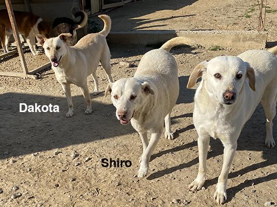 SHIRO, identifié 788.269.100.006.068, en pension dpt 78 Img_2527