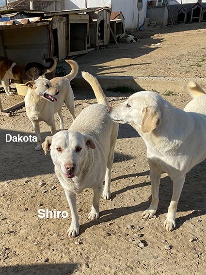 SHIRO, identifié 788.269.100.006.068, en pension dpt 78 Img_2529