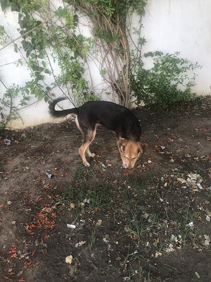 CHOCOLINE, identifiée 941.000.023.236.590, en refuge à Tunis Img_8238