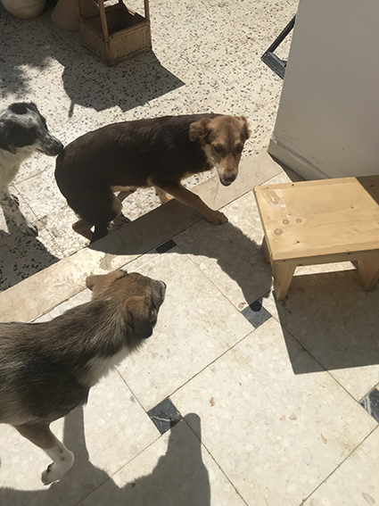 CHOCOLINE, identifiée 941.000.023.236.590, en refuge à Tunis Img_9118