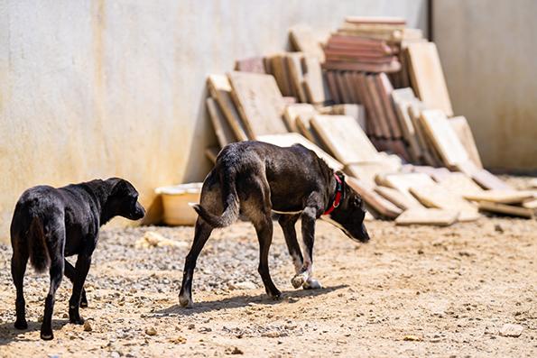 BUDDY, identifié 788.269.100.014.558, en refuge à Tunis Skz01425