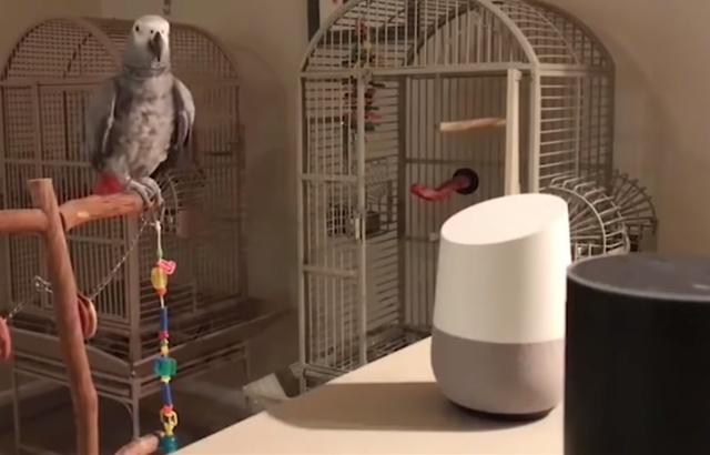 Enceinte connectée: Un perroquet passe tranquillement ses commandes avec Alexa 640x4110
