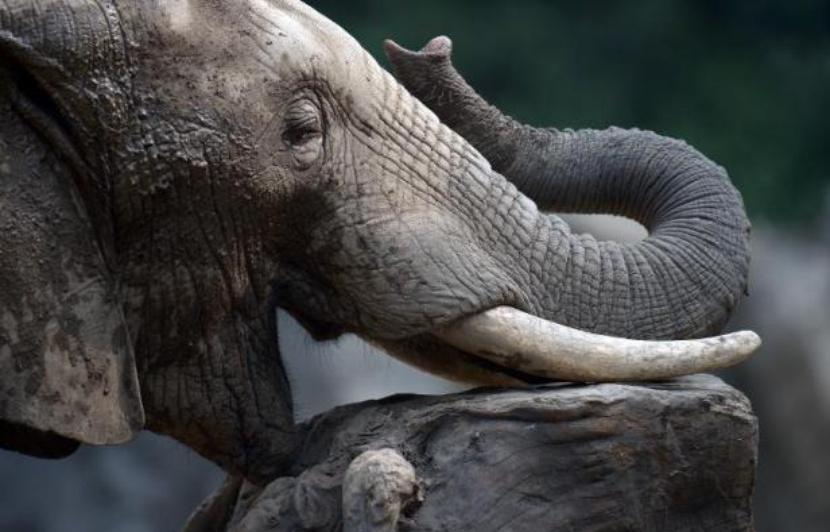 Marseille: Une plainte pour sauver de «l'enfer» Tania, une éléphante de cirque 830x5311