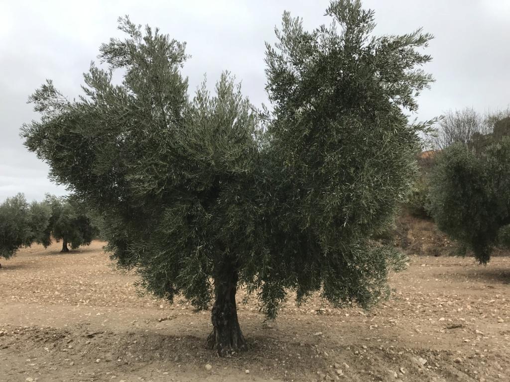 ¿Qué variedad de olivo es? 8afbf910