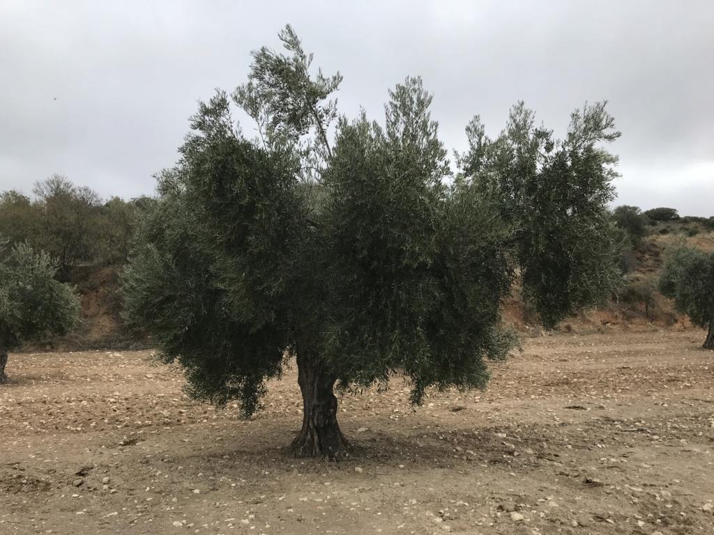 ¿Qué variedad de olivo es? E5b38510