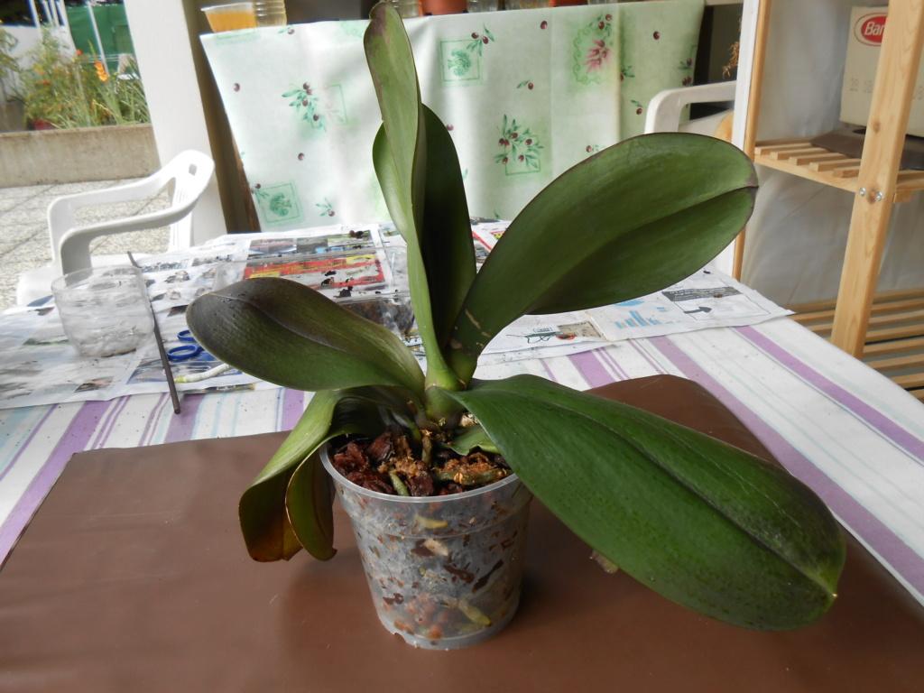 Mort d'un Phalaenopsis 10_20113