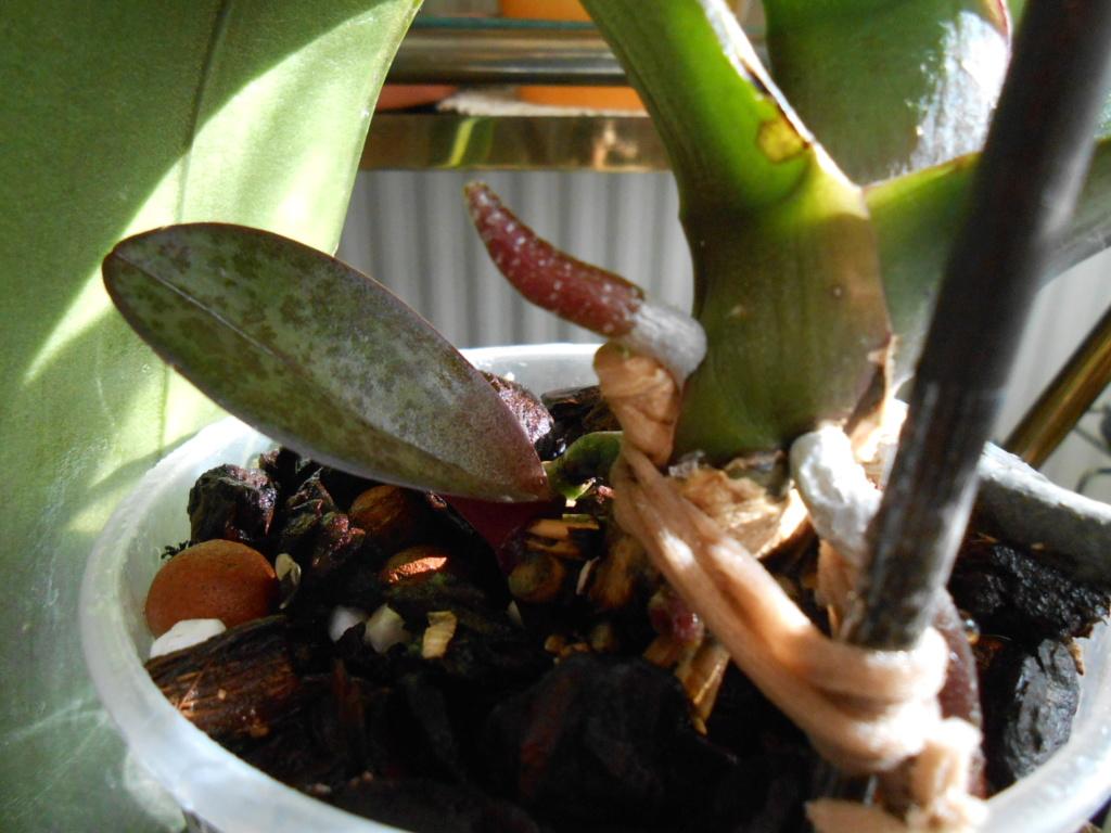 Mort d'un Phalaenopsis 10_20114