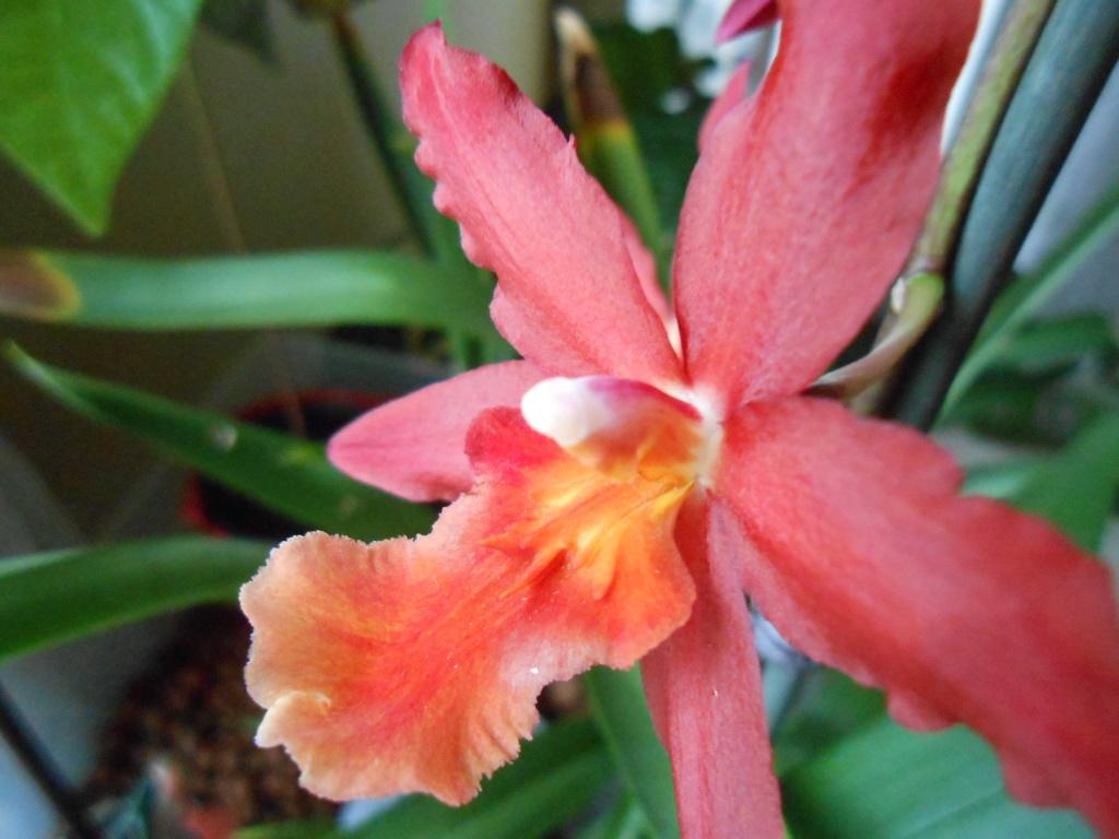 Floraison Oncidium hybride 10_20116