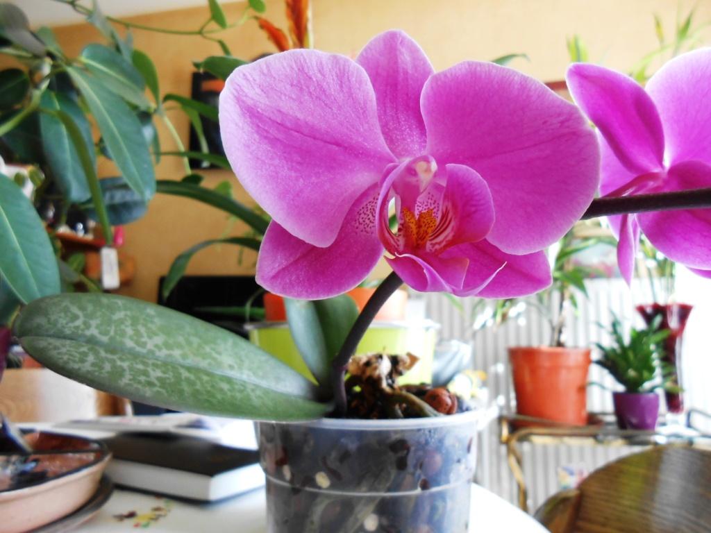 Floraison Phalaenopsis hybrides 10_20212