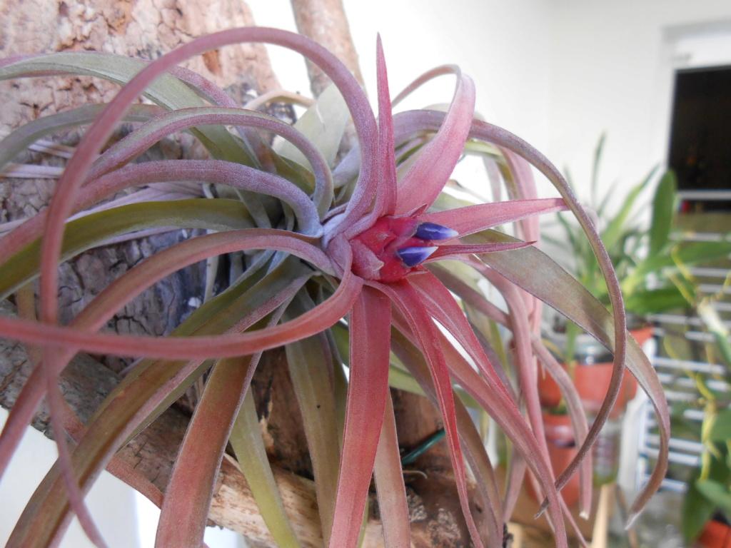 Floraison Tillandsia velutina 12_20110